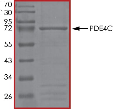 SDS-PAGE - Recombinant human PDE4C protein (ab125647)