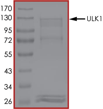 SDS-PAGE - Recombinant human ULK1 protein (ab125656)