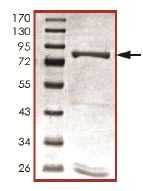 SDS-PAGE - Recombinant human PDE9A protein (ab125666)