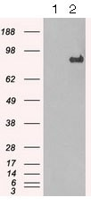 Western blot - Anti-STAT1 antibody [OTI9B12] (ab125685)