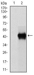 Western blot - Anti-PAI1 antibody [1D5] (ab125687)