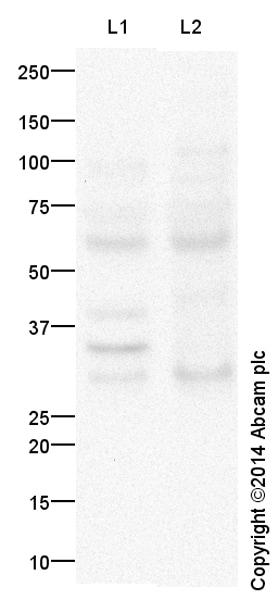Western blot - Anti-MOX1 antibody (ab125712)
