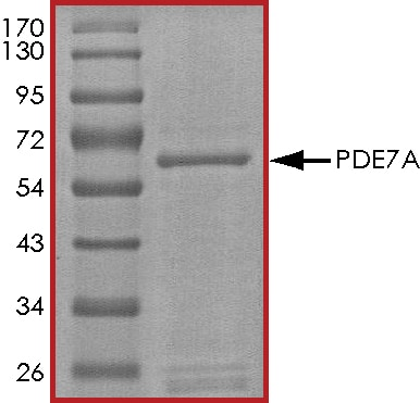 SDS-PAGE - Recombinant human PDE7A/HCP1 protein (ab125786)