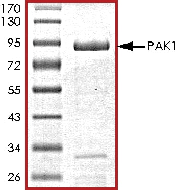 SDS-PAGE - Recombinant human PAK1 protein (ab125805)