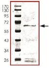 SDS-PAGE - Recombinant human SIRT3 protein (ab125810)