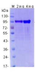 SDS-PAGE - Recombinant Rabbit MMP9 protein (ab125814)