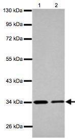 Western blot - Anti-ETFA antibody (ab126131)