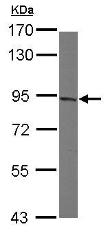 Western blot - Anti-MAD1 antibody (ab126148)