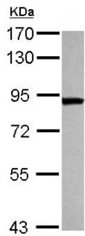 Western blot - Anti-ThrRS antibody (ab126179)