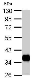 Western blot - Anti-PDHB antibody (ab126203)