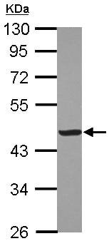 Western blot - Anti-Creatine Kinase MM antibody (ab126244)