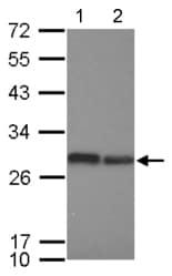 Western blot - Anti-eIF-6 antibody (ab126249)