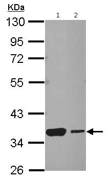 Western blot - Anti-Heat Shock Factor 2 Binding Protein antibody (ab126252)