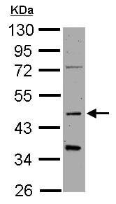 Western blot - Anti-SYT1 antibody (ab126253)