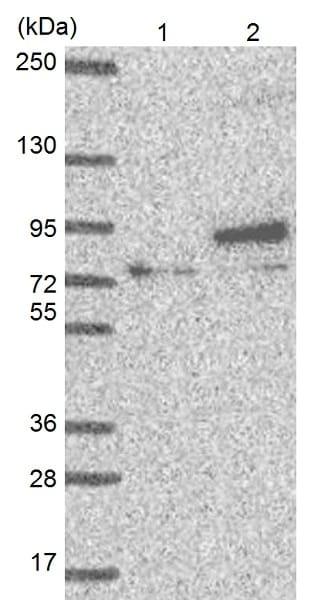 Western blot - Anti-Ext1 antibody (ab126305)