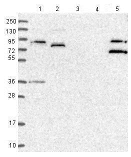 Western blot - Anti-SPATA5L1 antibody (ab126354)
