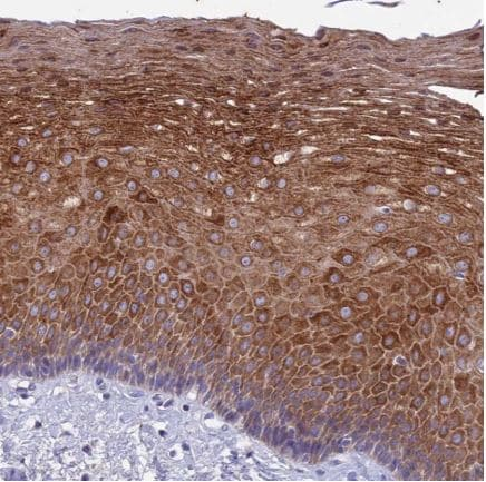 Immunohistochemistry (Formalin/PFA-fixed paraffin-embedded sections) - Anti-TMEM40 antibody (ab126386)