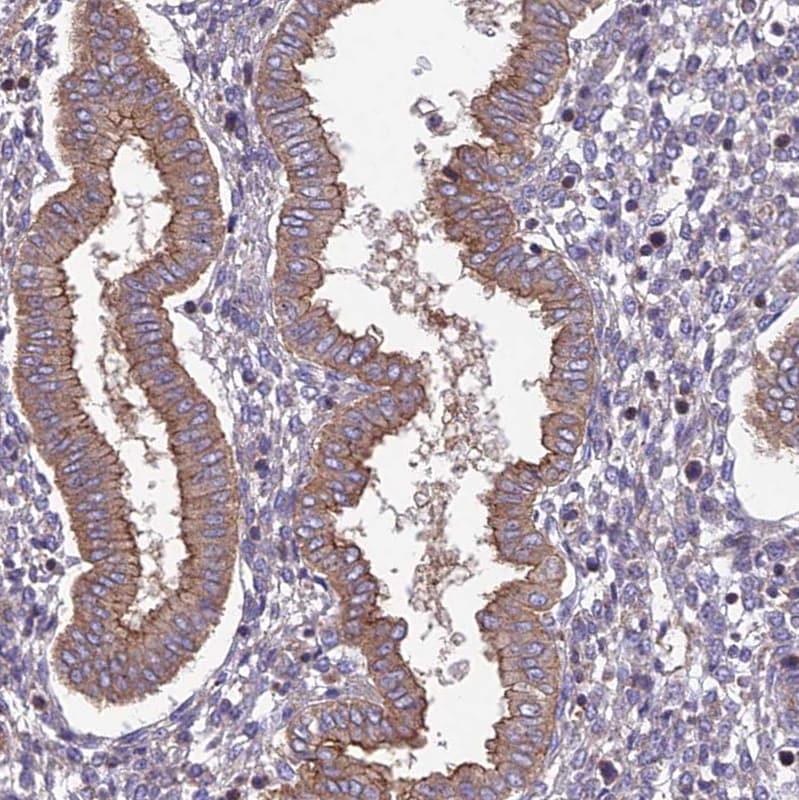Immunohistochemistry (Formalin/PFA-fixed paraffin-embedded sections) - Anti-QRFP antibody (ab126388)