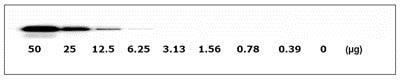 Western blot - Met (pY1234/pY1235) + total Met ELISA Kit (ab126451)