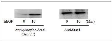 Western blot - STAT1 (pS727) ELISA Kit (ab126454)