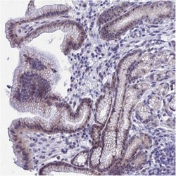 Immunohistochemistry (Formalin/PFA-fixed paraffin-embedded sections) - Anti-C16orf88 antibody (ab126512)