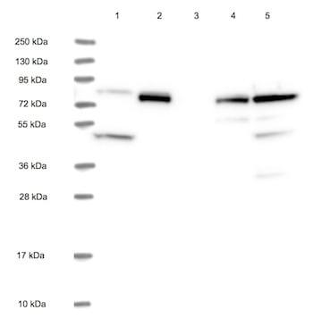 Western blot - Anti-CCDC81 antibody (ab126514)