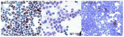 Immunocytochemistry - Anti-EED antibody [163C] (ab126542)