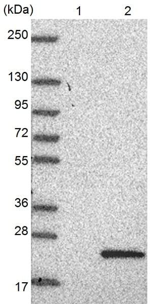 Western blot - Anti-C10orf55 antibody (ab126546)