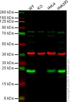 Western blot - Anti-Cyclophilin F antibody (ab126573)