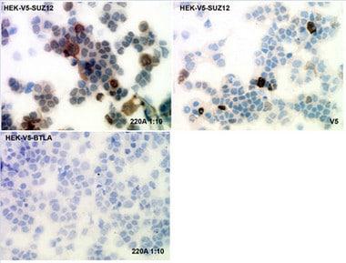 Immunohistochemistry (Frozen sections) - Anti-SUZ12 antibody [SUZ220A] (ab126577)