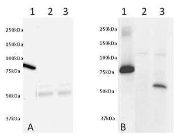 Western blot - AKT total (s473) FLOW Kit (ab126580)