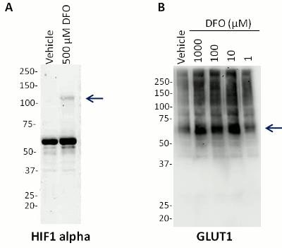 Western blot - HIF1a + GLUT1 Hypoxia Flow Kit (ab126584)