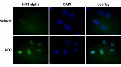 Immunocytochemistry/ Immunofluorescence - HIF1a + BNIP3 Hypoxia Flow Cytometry Kit (ab126585)