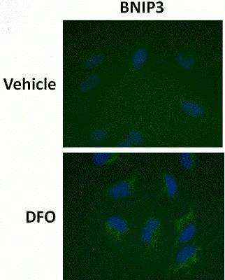 Immunocytochemistry/ Immunofluorescence - HIF1a + BNIP3 Hypoxia Flow Cytometry Kit (ab126585)