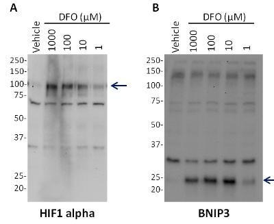 Western blot - HIF1a + BNIP3 Hypoxia Flow Cytometry Kit (ab126585)