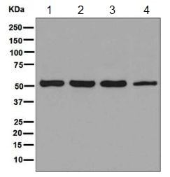 Western blot - Anti-JNK3 antibody [EPR5493(2)] (ab126591)
