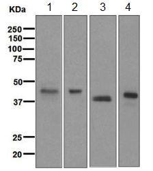 Western blot - Anti-PON1 antibody [EPR2893] (ab126597)