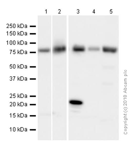 Western blot - Anti-Calpain 2 antibody [EPR5977] (ab126600)