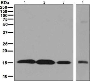 Western blot - Anti-SUMO4 antibody [EPR7163] (ab126606)