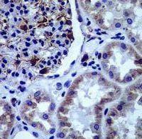 Immunohistochemistry (Formalin/PFA-fixed paraffin-embedded sections) - Anti-ADIPOR1 antibody [EPR6626] (ab126611)