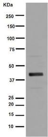 Western blot - Anti-ADIPOR1 antibody [EPR6626] (ab126611)