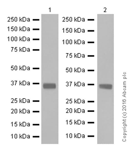 Western blot - Anti-SFRP1 antibody [EPR7003] (ab126613)
