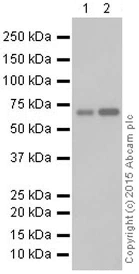 Western blot - Anti-N WASP antibody [EPR6959] (ab126626)
