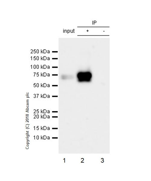 Immunoprecipitation - Anti-Extracellular matrix protein 1 antibody [EPR6701] (ab126629)