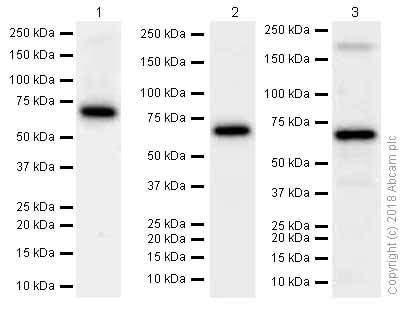 Western blot - Anti-Extracellular matrix protein 1 antibody [EPR6701] (ab126629)
