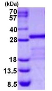 SDS-PAGE - Recombinant Human Junctional Adhesion Molecule 1/JAM-A protein (ab126670)