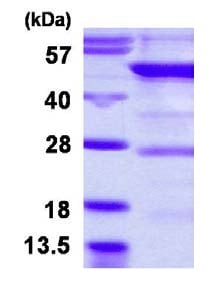 SDS-PAGE - Recombinant Human YARS2/TyRS protein (ab126680)