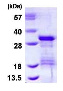 SDS-PAGE - Recombinant Human VTI1B protein (ab126685)