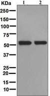 Western blot - Anti-FMO3 antibody [EPR6968] (ab126711)