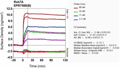 Other - Anti-RAB7 antibody [EPR7588(B)] - Late Endosome Marker (ab126712)